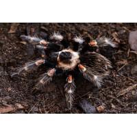 Brachypelma Auratum 1/3″ *CITES* - Mexican Flame Knee (New World)