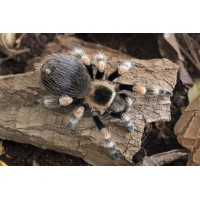 Brachypelma Hamorii *CITES - Mexican Redknee (New World)